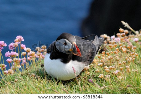 Puffin at Sumburgh Head - stock photo