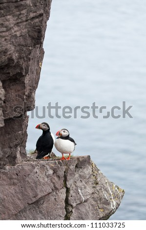 puffin birds living their daily lives on the cliffs of Iceland - stock photo