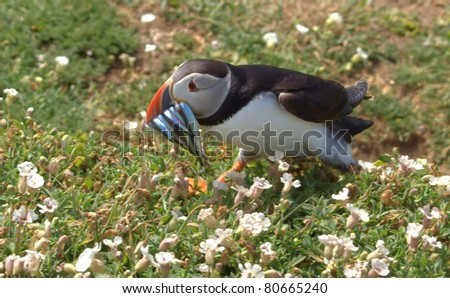 puffin carrying sandeels to it's borough