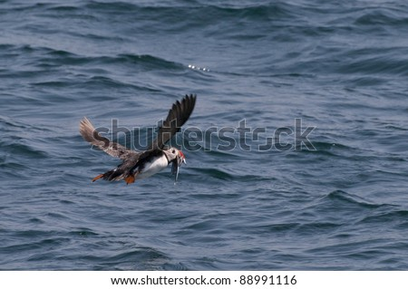 Puffin flying above the sea with sandeels, little fish, in its red beak. - stock photo