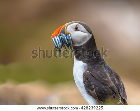 Puffin (Fratercula arctica) with beek full of sandeels on its way to nesting burrow in breeding colony - stock photo