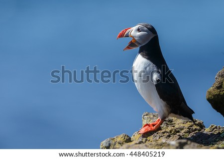 Puffin in sunlight at the clips of Latrabjarg Iceland