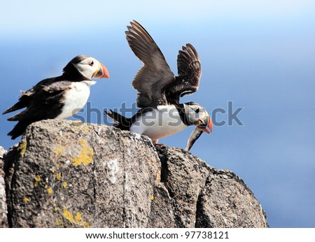 Puffin perched on a cliff on the isle of May, Scotland