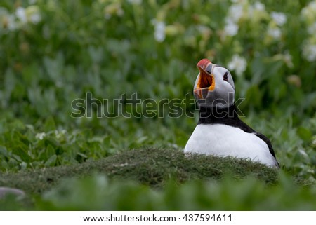 Puffin sitting in burrow with open beak showing mouth. Green vegetation as background. - stock photo