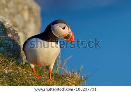 puffin standing on cliff (fratercula arctica) - stock photo