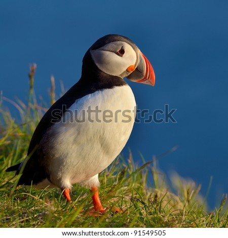 puffin standing on grassy cliff (fratercula arctica) - stock photo