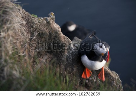 Puffins - stock photo
