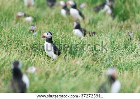 Puffins (Fratercula arctica) in the wild - stock photo