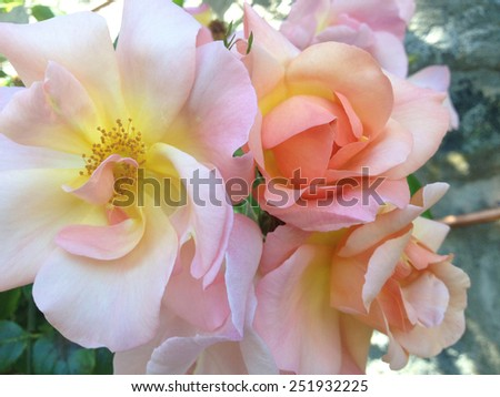 Puffy pink roses with yellow middles in nature - stock photo