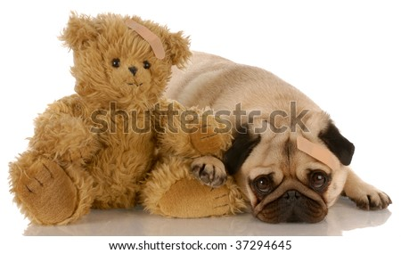 pug and teddy bear with matching medical bandages - stock photo