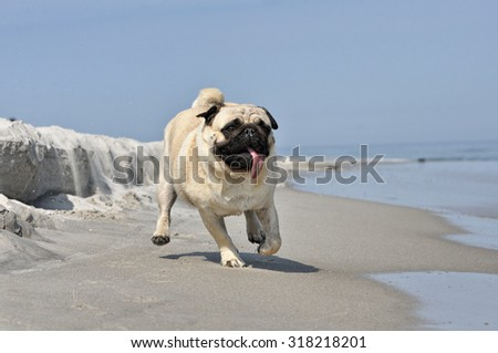 pug and the beach
