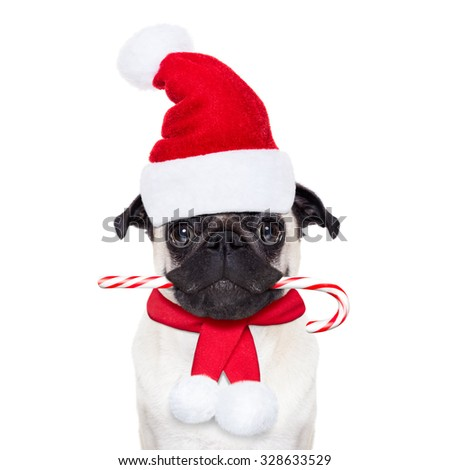 pug dog as santa claus with red hat, for christmas holidays, looking dumb, with a sugar candy cane in mouth, isolated on white background - stock photo