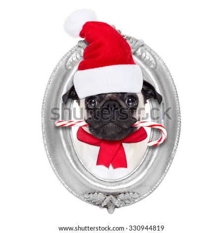 pug dog as santa claus with sugar candy cane on christmas holidays , looking out of frame on the wall, isolated on white background - stock photo