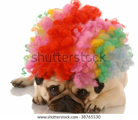 pug dog dressed up as a sad clown - stock photo