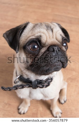 Pug dog from above - stock photo