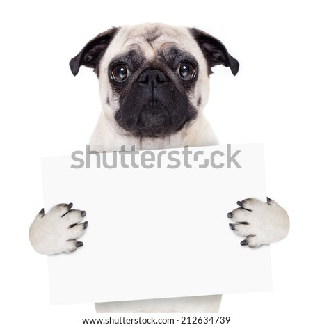 pug dog holding blank white banner or placard - stock photo