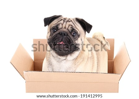 pug dog in brown carton box isolated on white background - stock photo