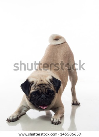 pug dog is bowing or doing a playing pose - stock photo