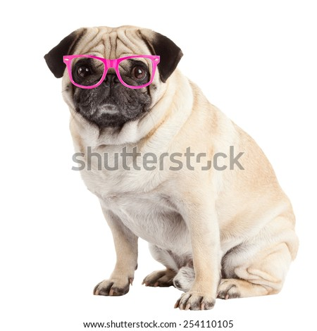 pug dog isolated on a white background - stock photo