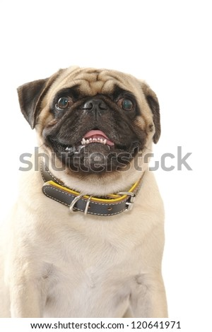 Pug dog isolated on white background.  Studio shot. - stock photo