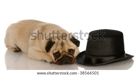 pug dog laying down beside formal black top hat - stock photo