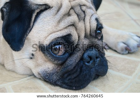 Puggy stock images royalty free images vectors shutterstock pug dog looking man thecheapjerseys Gallery