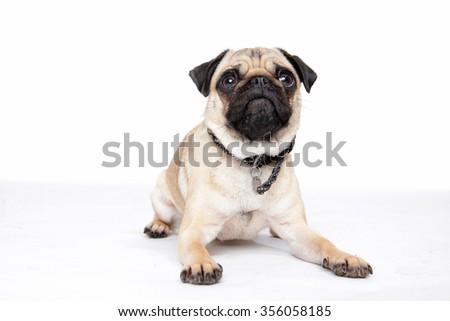 Pug dog lying on ground - stock photo