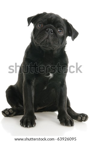 Pug dog on a white background