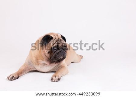 pug dog on white background. - stock photo