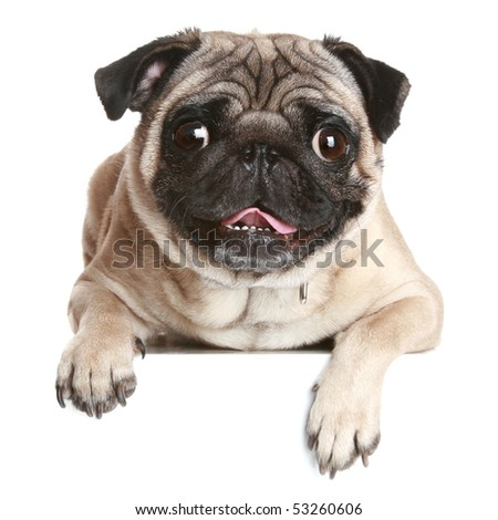Pug dog on white banner - stock photo
