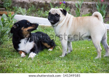 pug dog play - stock photo