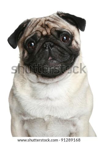 Pug dog portrait over white background - stock photo