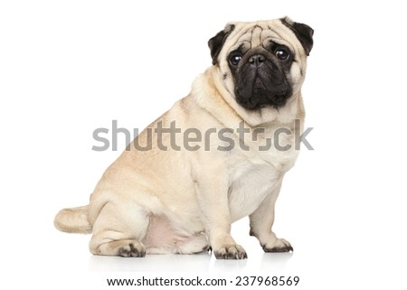 Pug dog sits on white background - stock photo