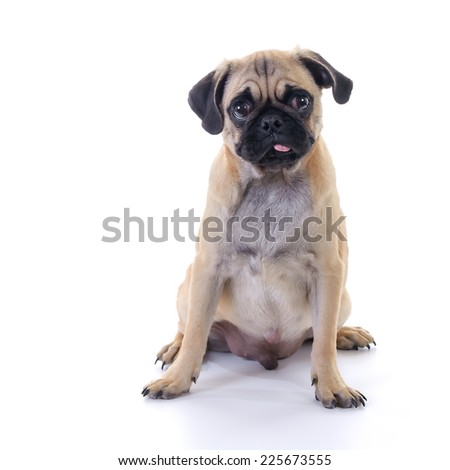 Pug dog Sitting in front of white background, front view, high key, square image - stock photo