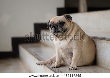 Pug dog sitting on stairs to guard office. - stock photo