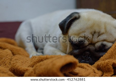Pug Dog sleep - stock photo