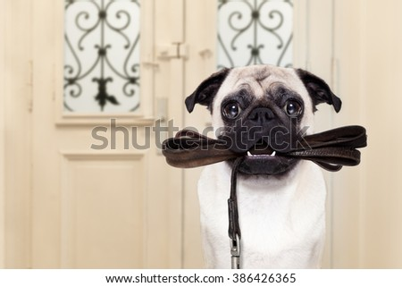 pug dog  waiting a the door at home with leather leash in mouth , ready to go for a walk with his owner - stock photo