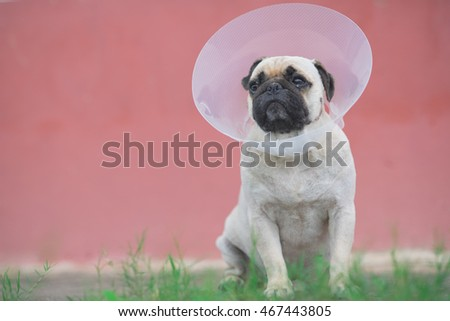 Pug dog while wearing Elizabethan collar in the shape of a cone for protection .