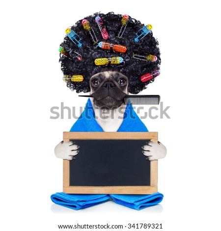 pug dog  with hair rulers  and afro curly wig  hair at the hairdresser ,holding a blank empty placard or blackboard, isolated on white background - stock photo