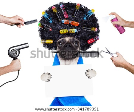 pug dog  with hair rulers  and afro curly wig  hair at the hairdresser , holding a blank empty placard or banner, isolated on white background - stock photo