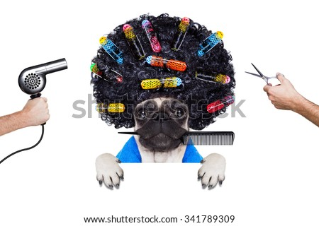 pug dog  with hair rulers  and afro curly wig  hair at the hairdresser under the drying hood behind a blank empty placard or banner, isolated on white background - stock photo
