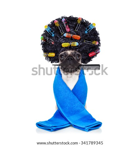 pug dog  with hair rulers  and afro curly wig  hair at the hairdresser with comb in mouth,  isolated on white background - stock photo