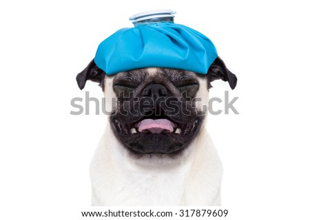 pug  dog  with  headache and hangover with ice bag or ice pack on head,  suffering and crying ,  isolated on white background, - stock photo