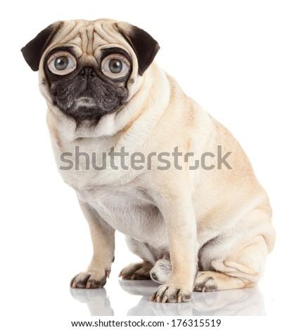 pug dog with human eyes isolated on a white background  - stock photo