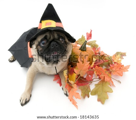 Pug Dressed as a Witch