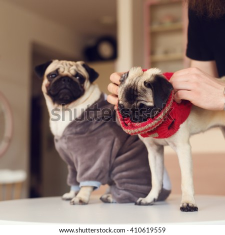 Pug, dressed friends ready for walk.