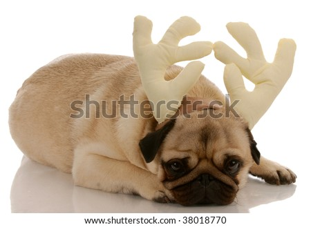 pug dressed up as rudolph on white background - stock photo