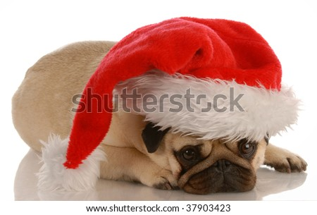 pug dressed up as santa on white background - stock photo