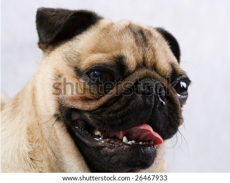 Pug grimace . The young dog age of one and a half.