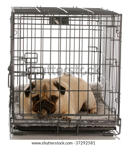 pug in a wire crate isolated on white background - stock photo